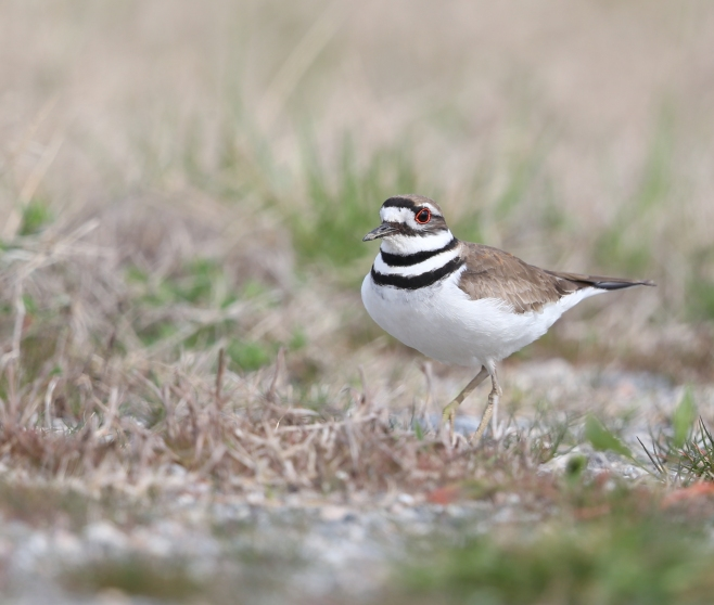 Killdeer on the ground