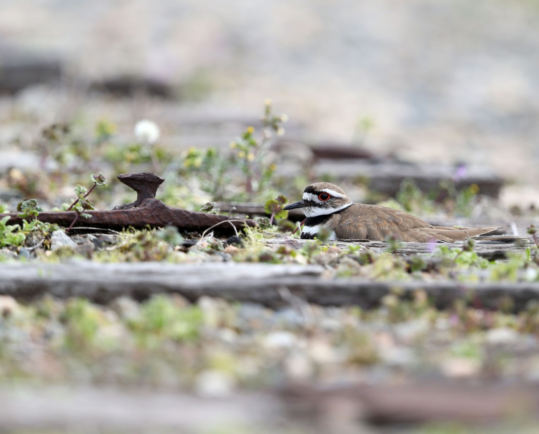 Killdeer sitting on eggs