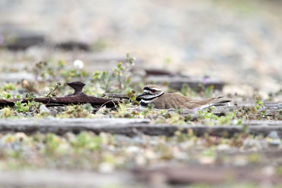 Killdeer on a nest on an old railroad bed