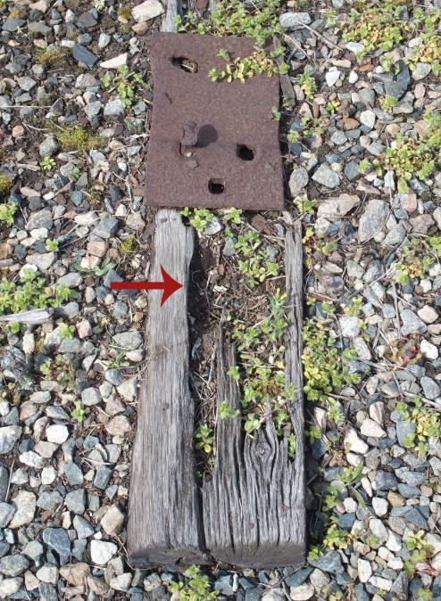 Killdeer scrape where a nest with eggs had been