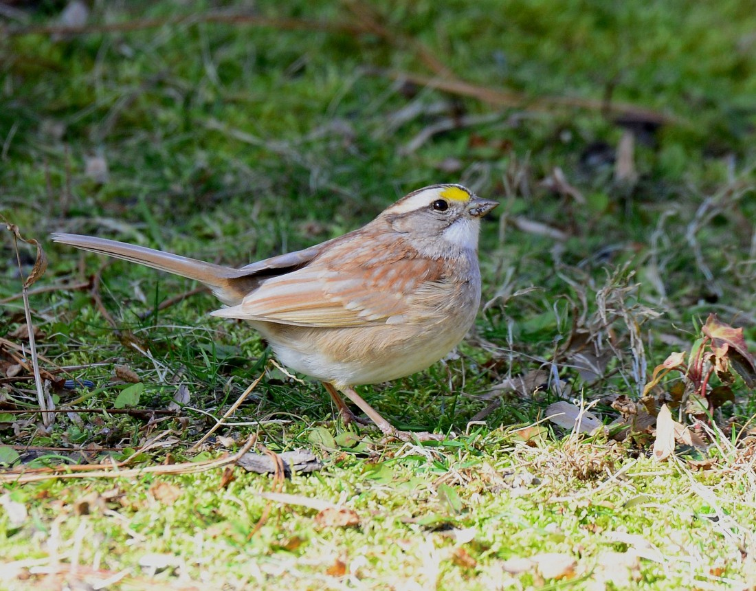Leucistic White-throated Sparrow on the ground