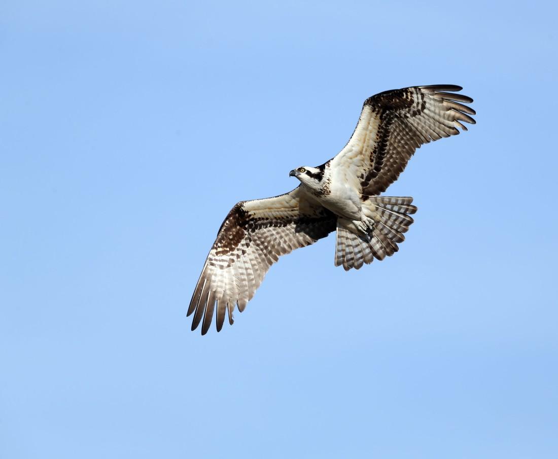 Adult female Osprey in flight