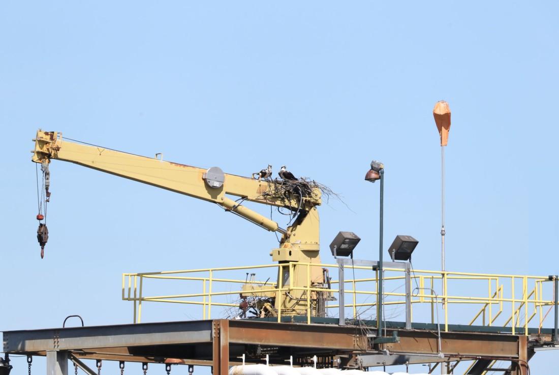 Osprey nest on a live crane