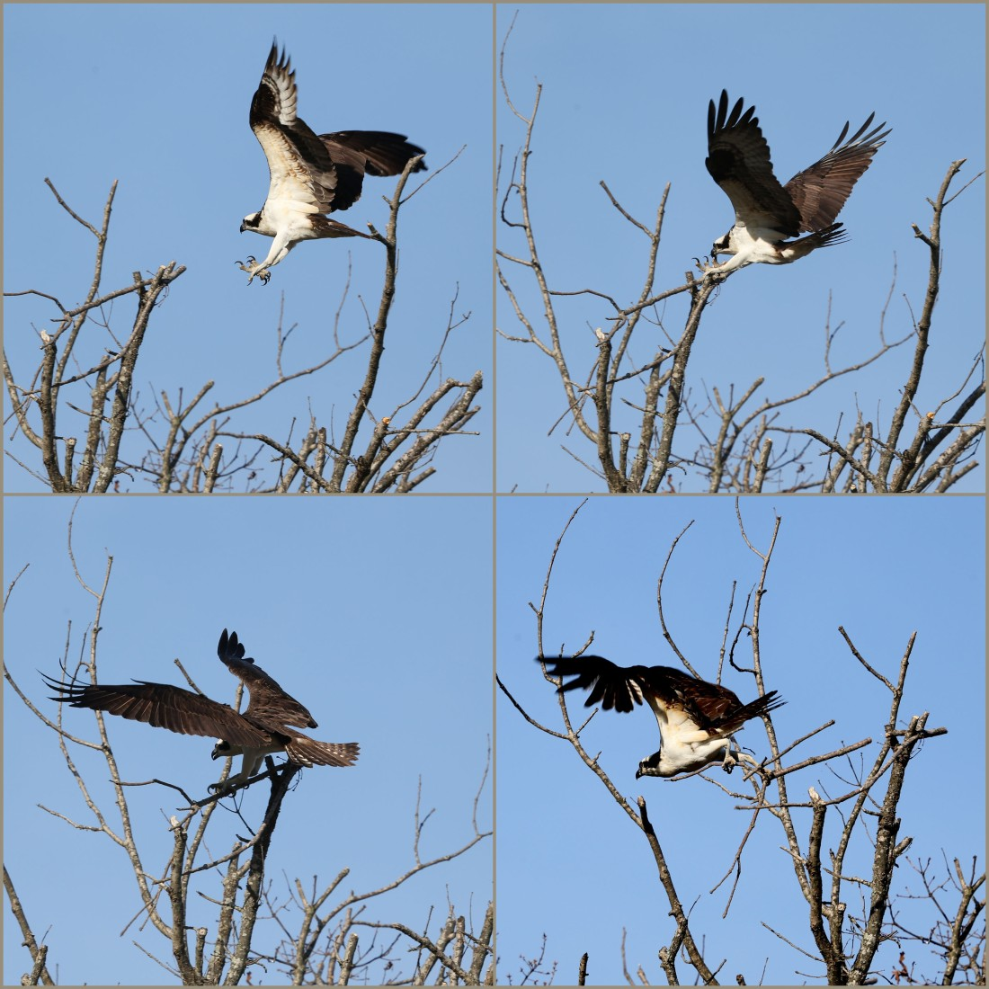 Osprey gathering nesting material