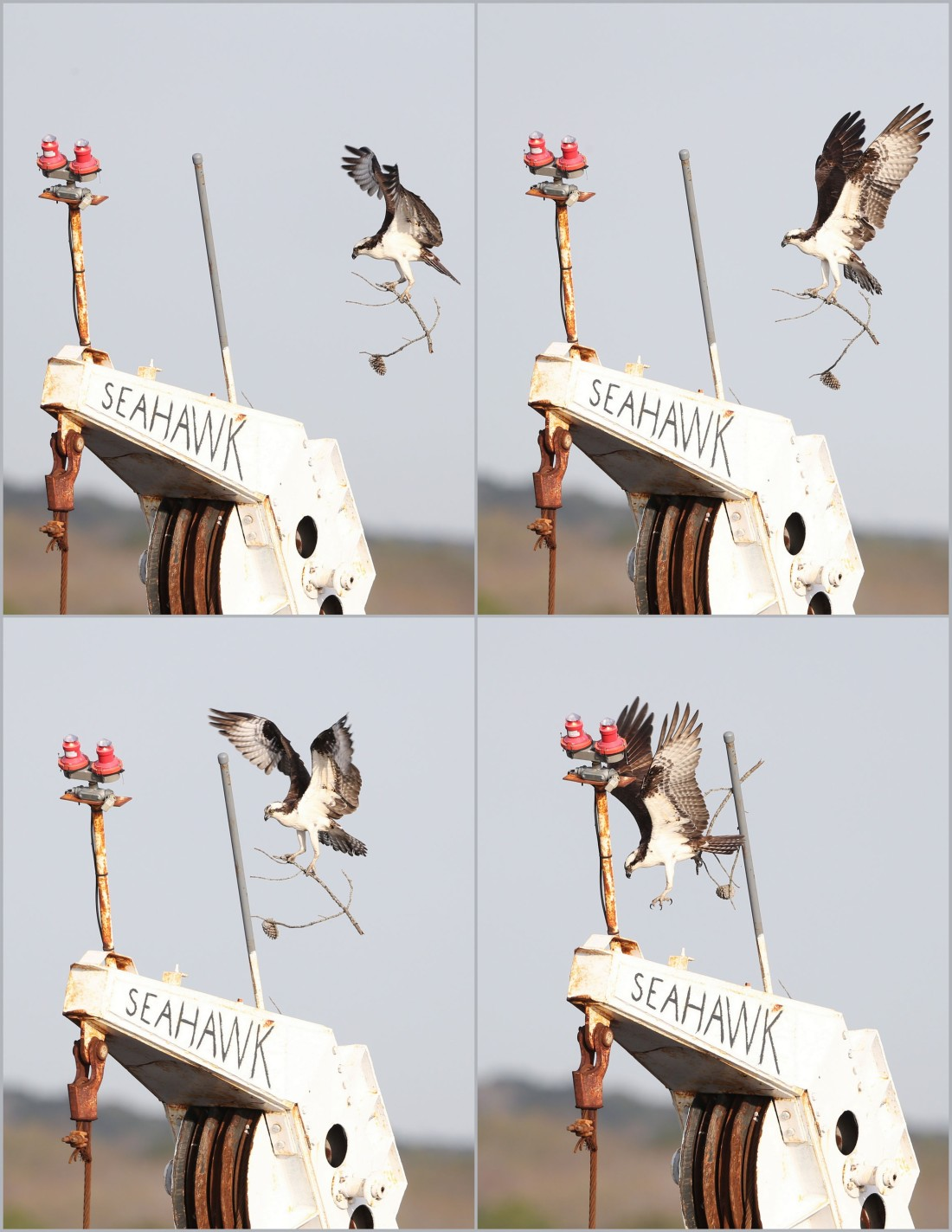 Osprey nest-building collage