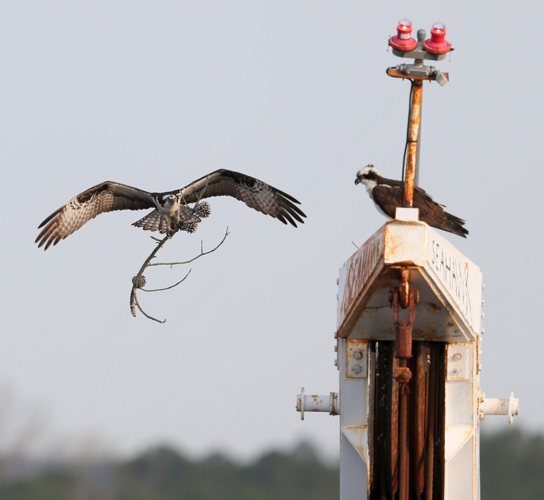 Osprey delivering a stick to a nest on a crane