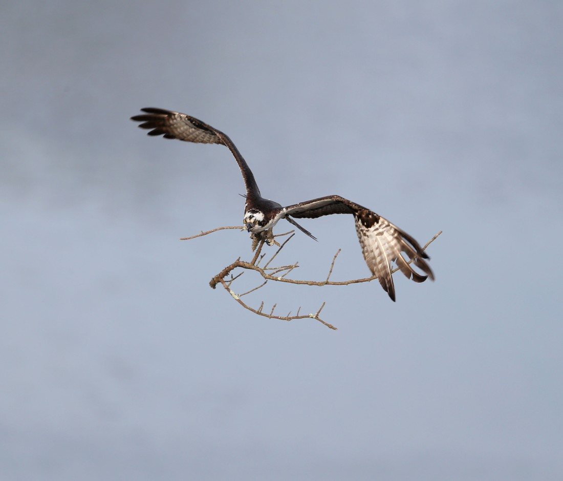 Osprey carrying a branch end to a nest