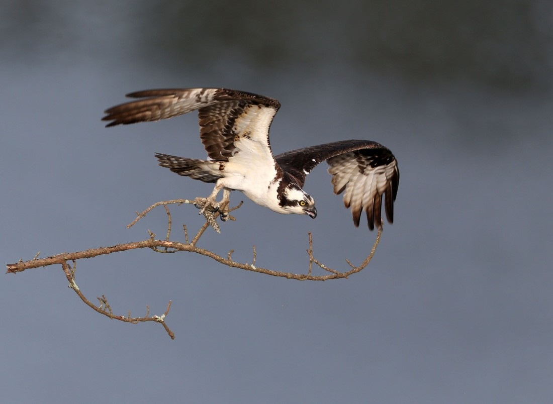 Osprey carrying branch