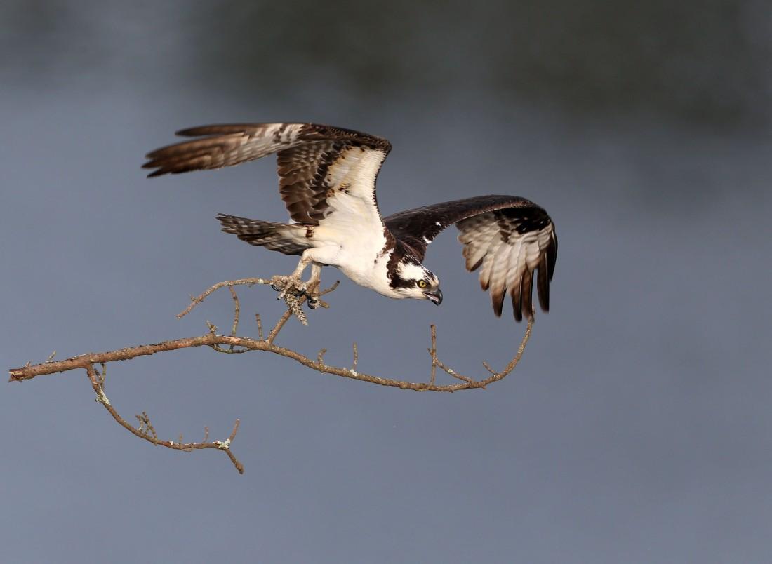 Osprey carrying branch