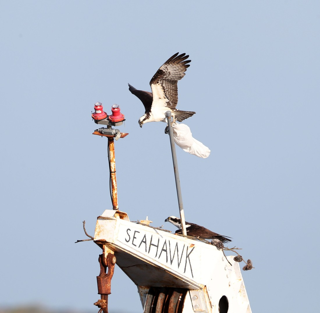 Osprey delivering a plastic bag to its nest