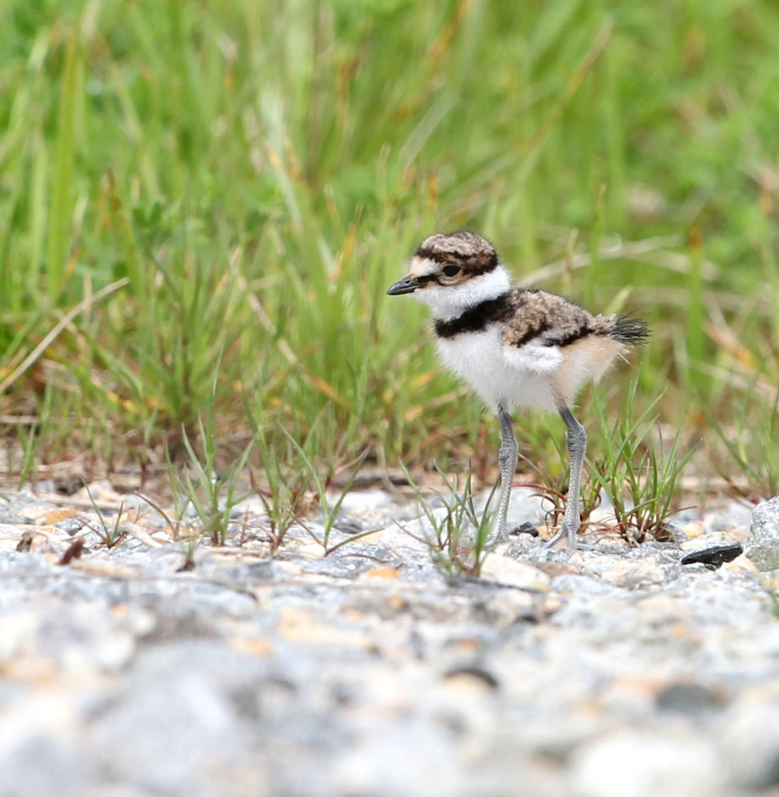 One-week-old Killdeer chick