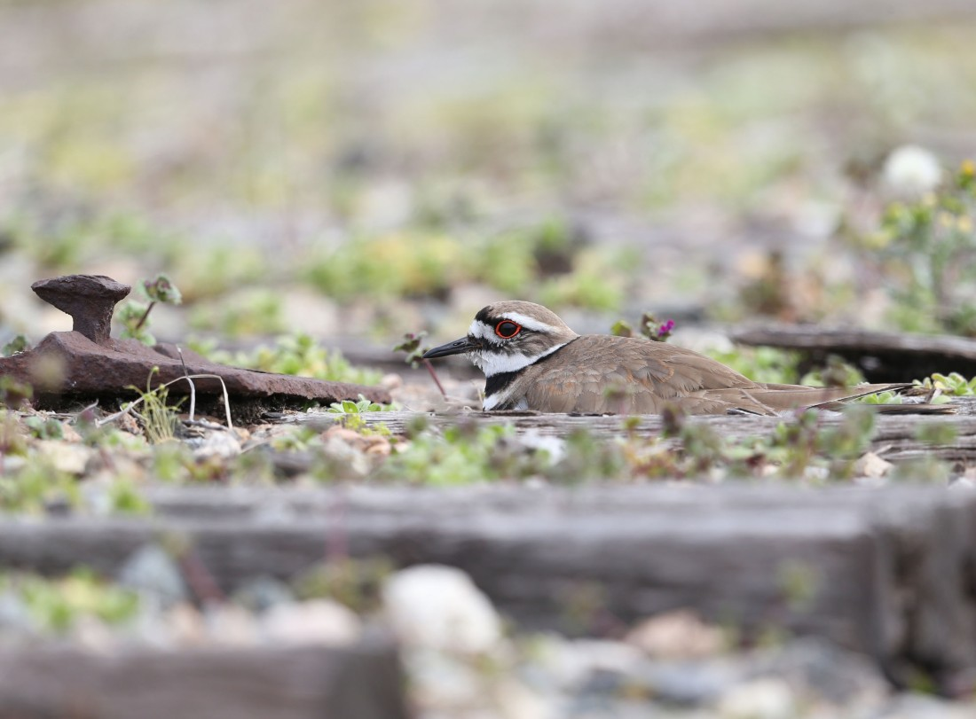 Killdeer nesting on a railroad bed