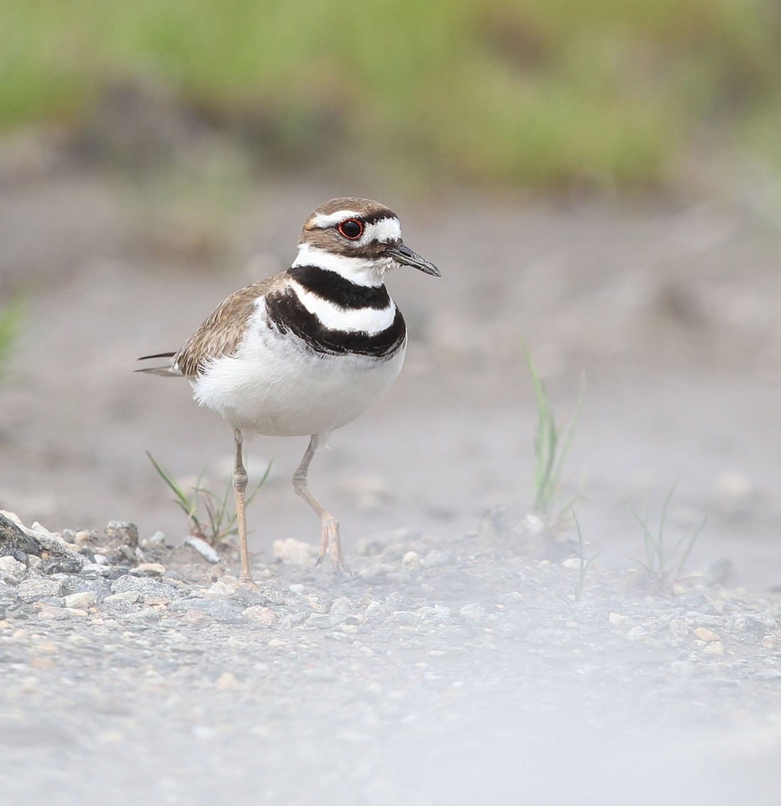 Adult Killdeer walking