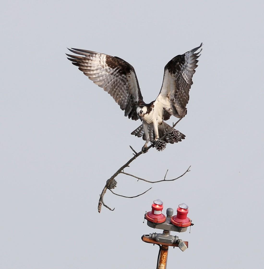 Osprey delivering nesting material