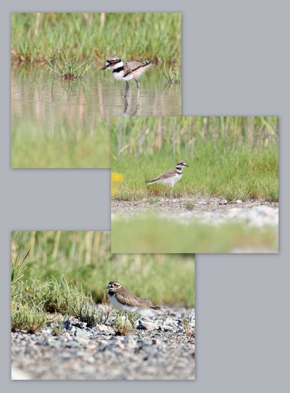 Killdeer chick growth 4/19-5/15