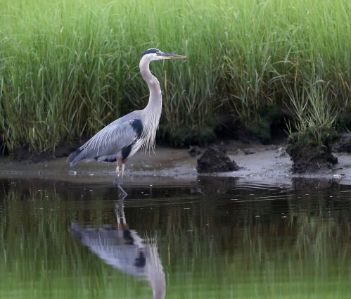 Great Blue Heron standing