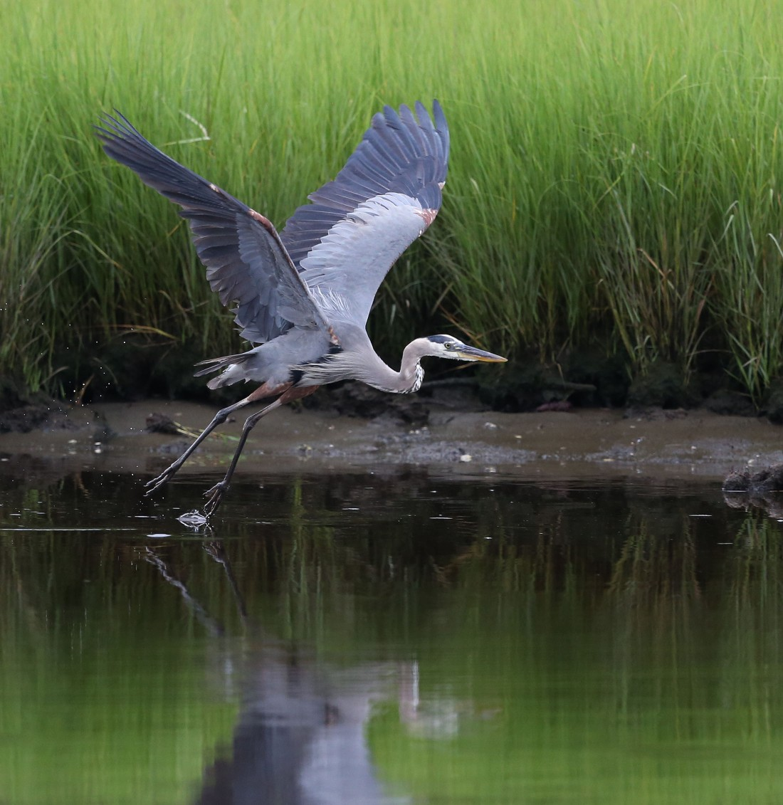 Great blue Heron going airborne