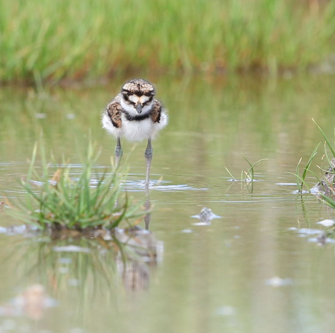 Killdeer chick, 4/19