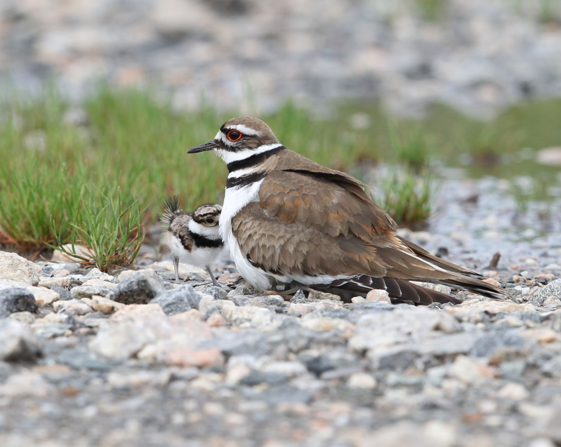 Female Killdeer parent brooding young