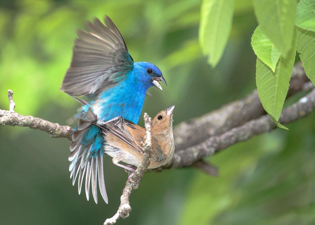 Indigo Bunting pair mating