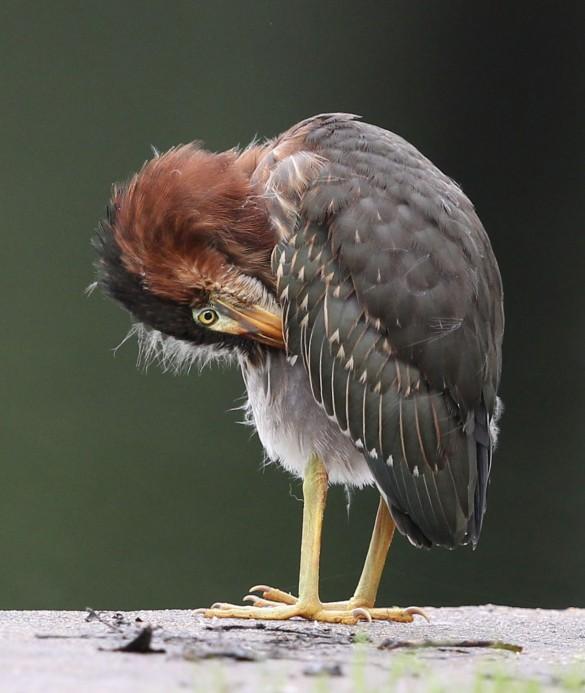 Juvenile Green Heron preening