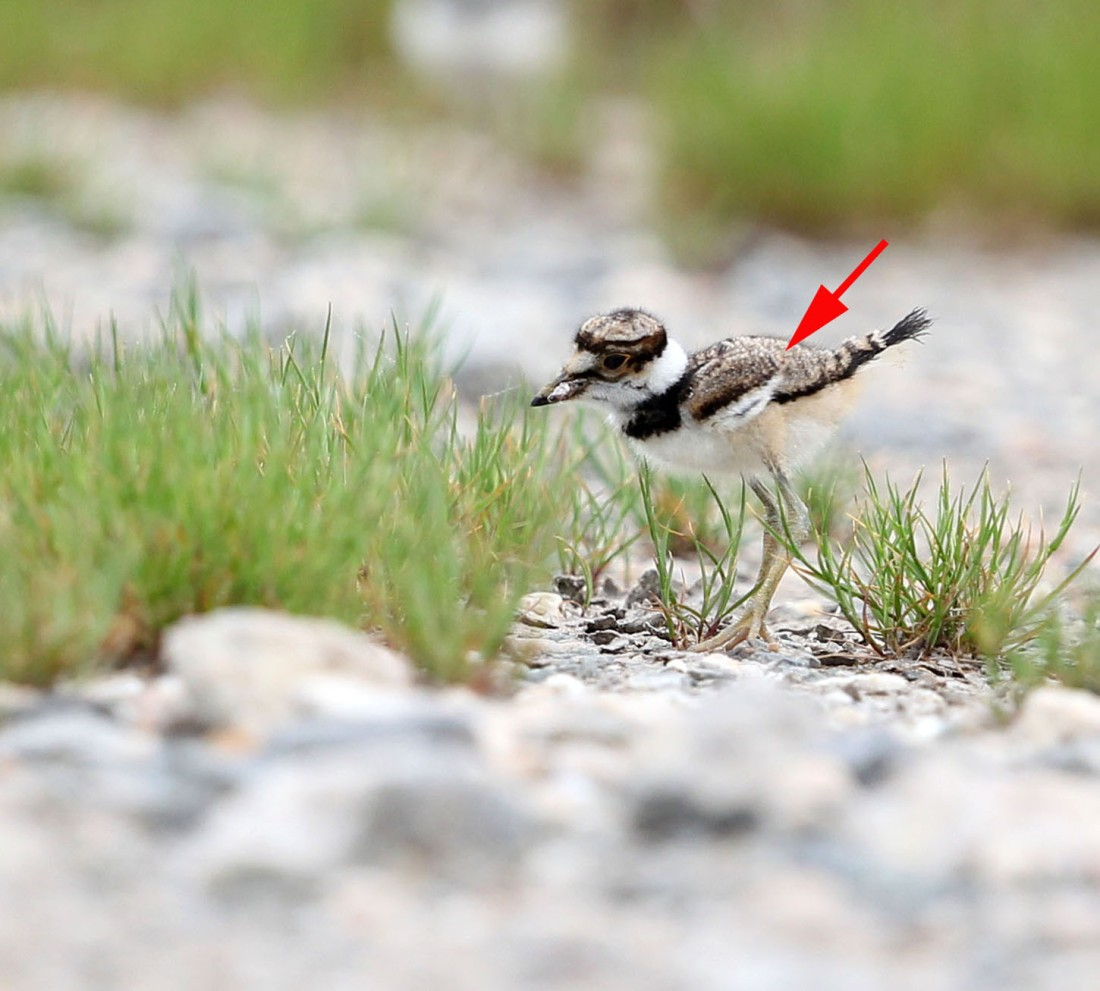 Growing Killdeer chick, 4/20