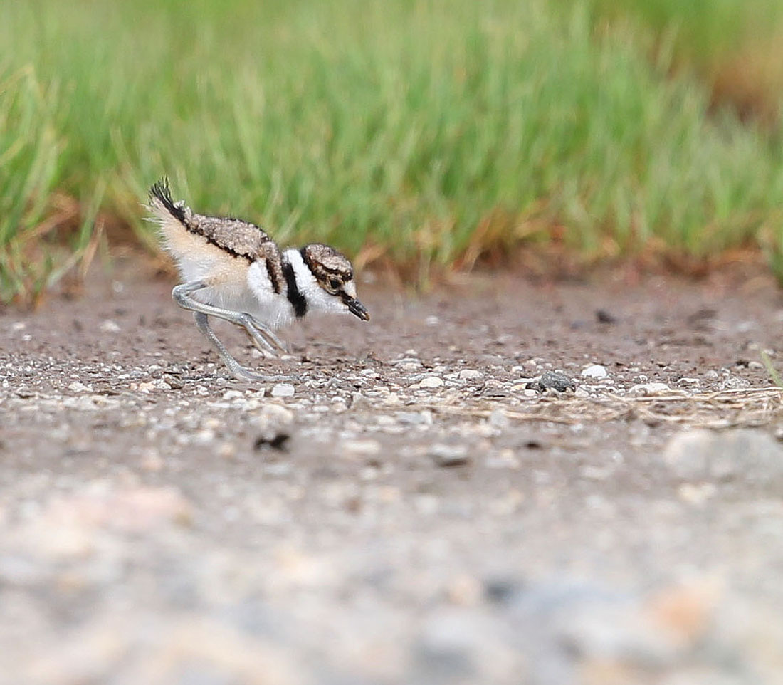 Killdeer chick feeding