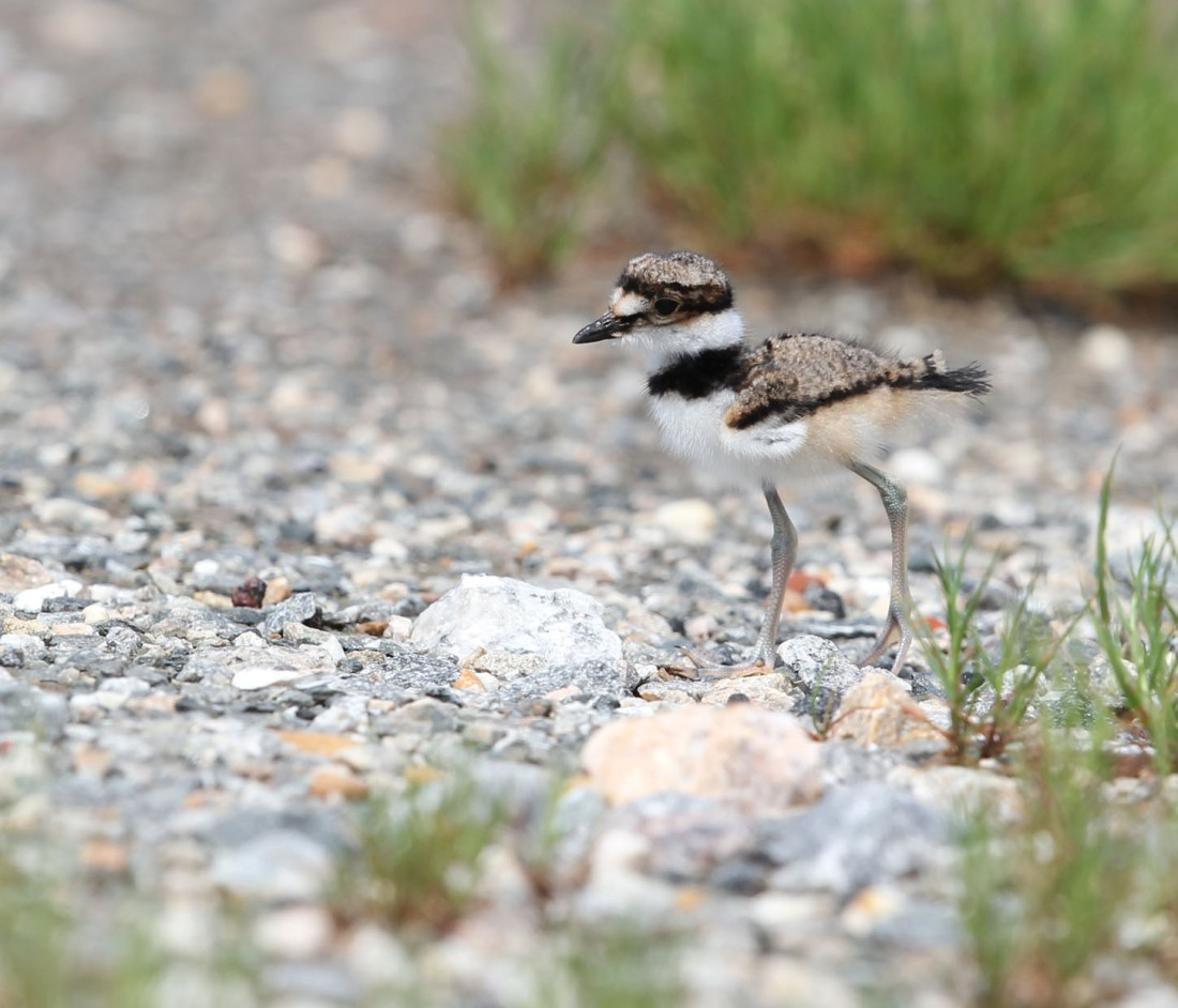 Killdeer chick, 4/20