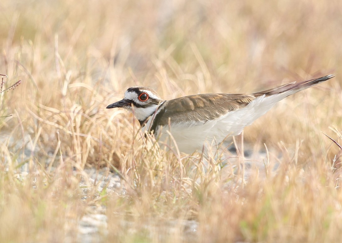 Killdeer distraction display