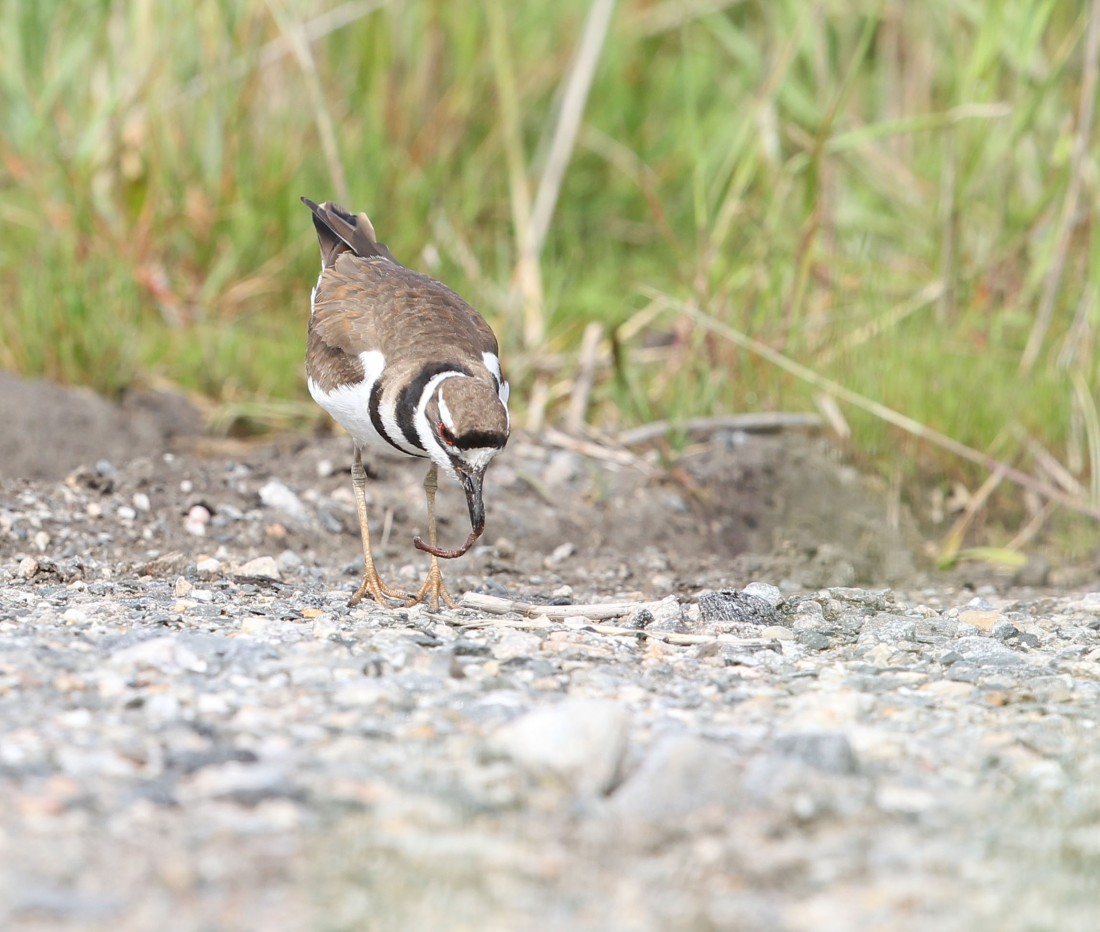 Adult Killdeer feeding in the breeding area, 4/20