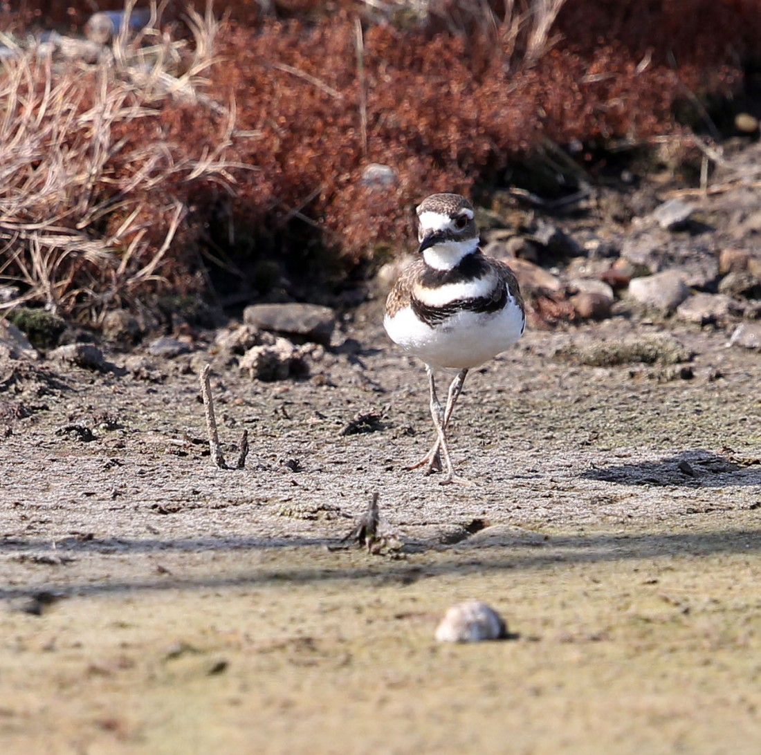 Killdeer fledgling 5/25