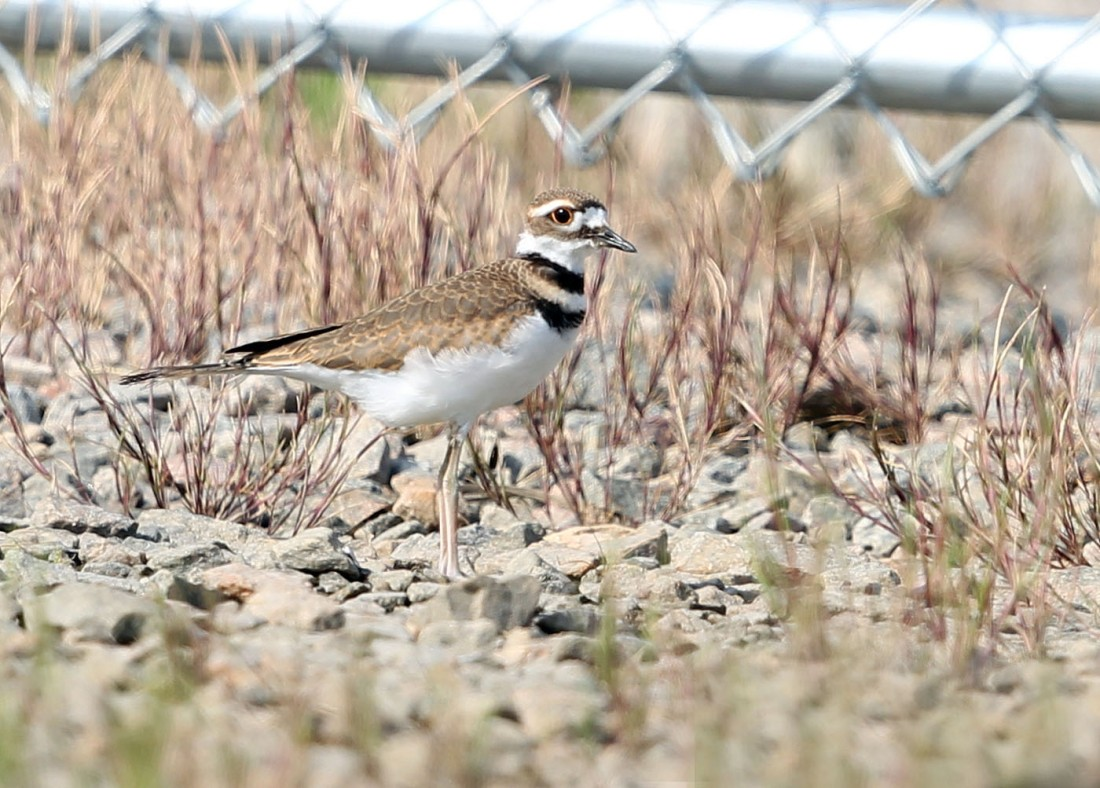 Killdeer fledgling 5/19