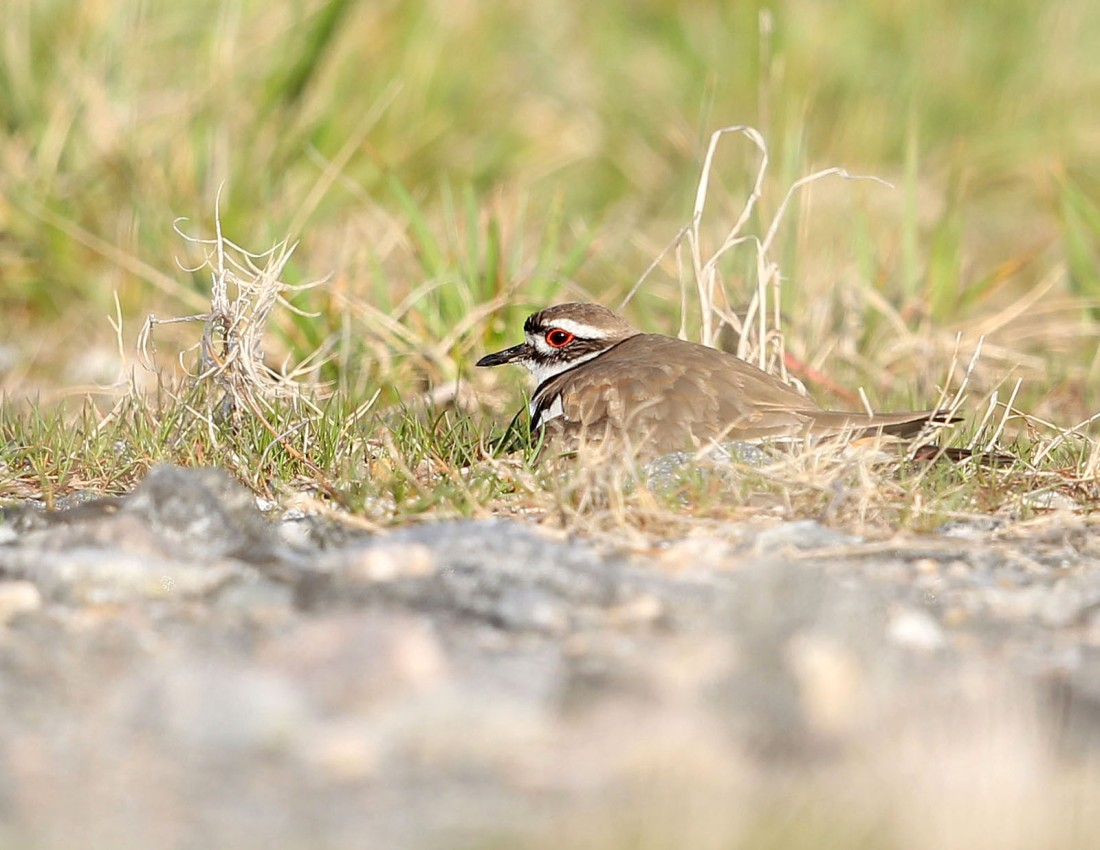 Adult Killdeer on eggs