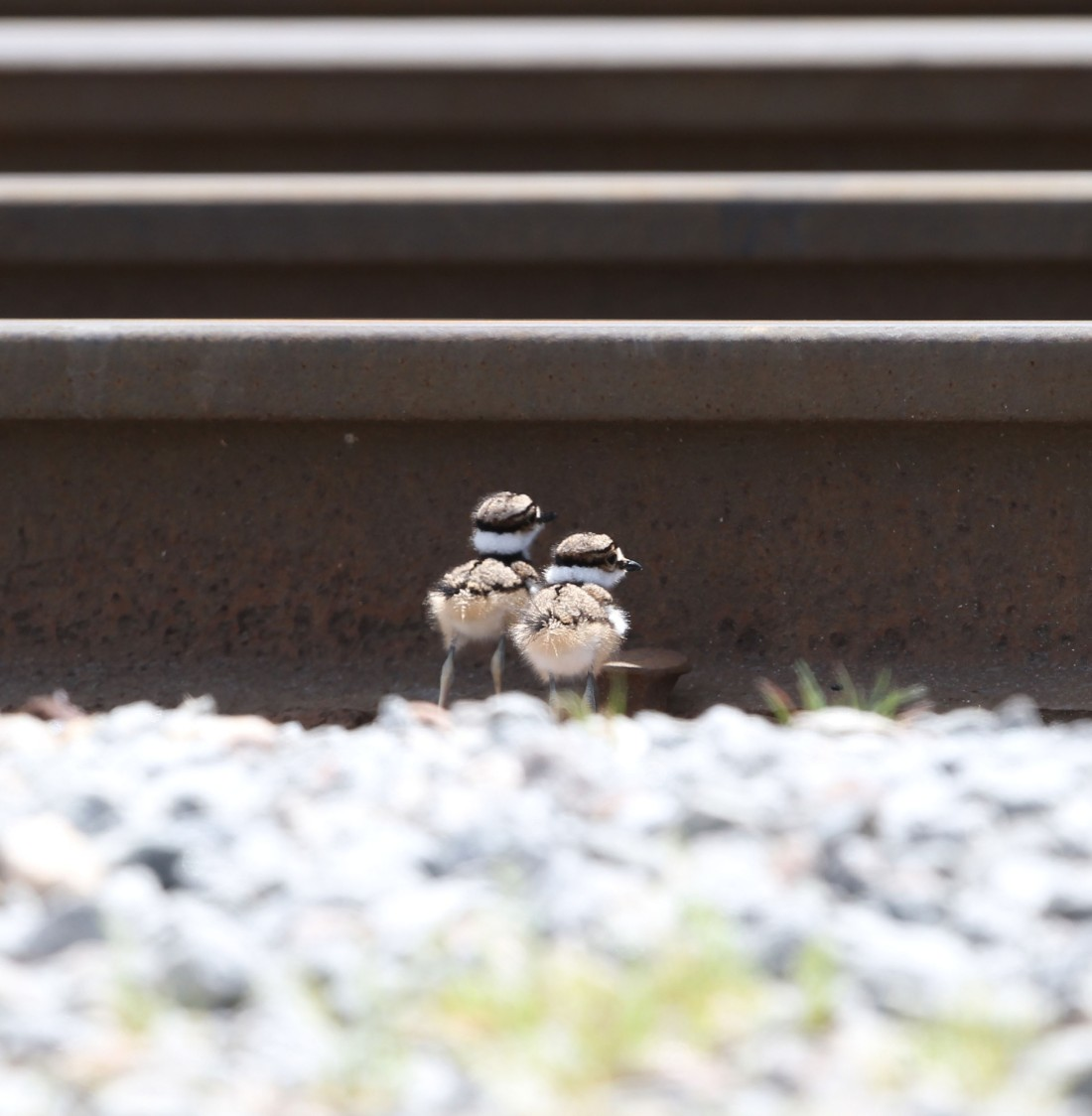 Killdeer chicks on a railroad bed