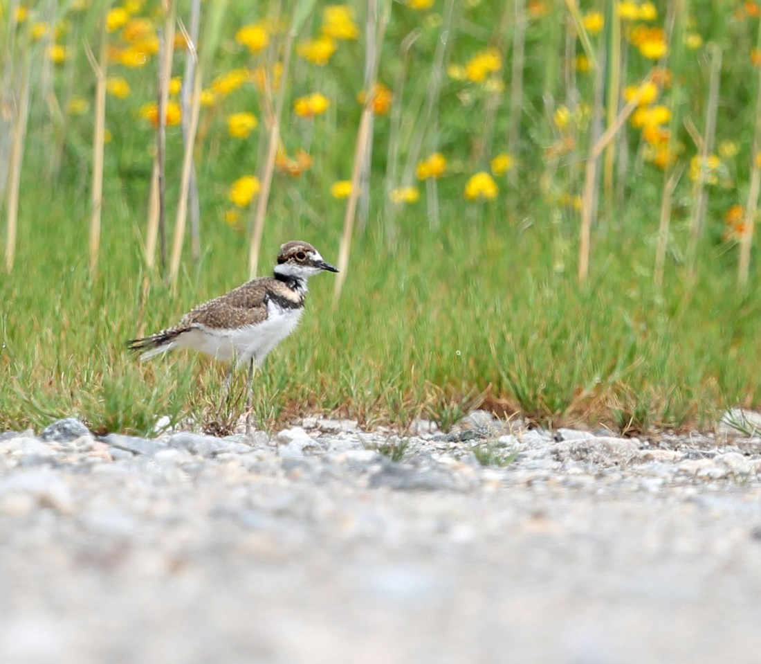 Killdeer chick, 5/4