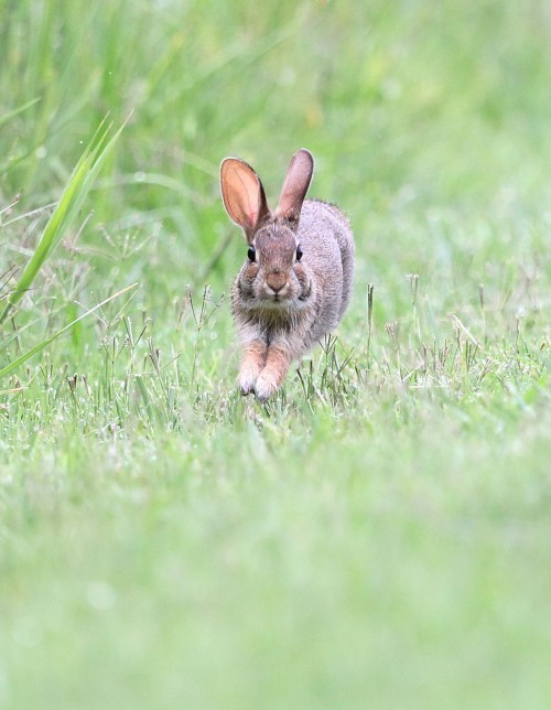 Cottontail rabbit in full stride