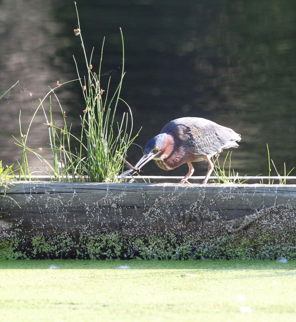 Green Heron snagging a dragonfly