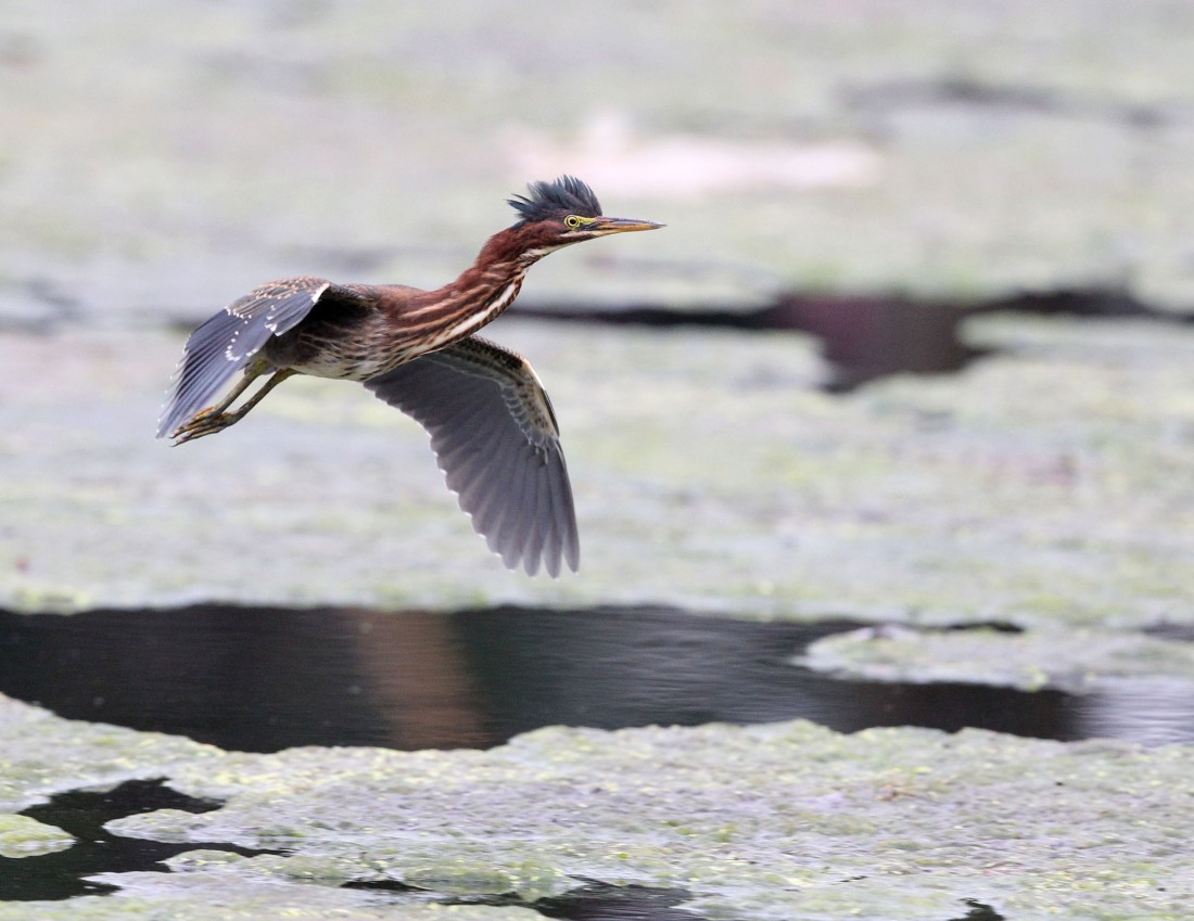 Adult Green Heron flying