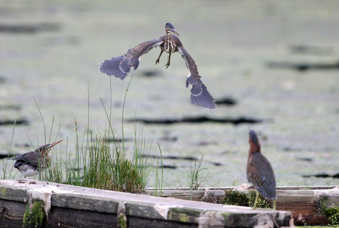 Adult Green Heron landing