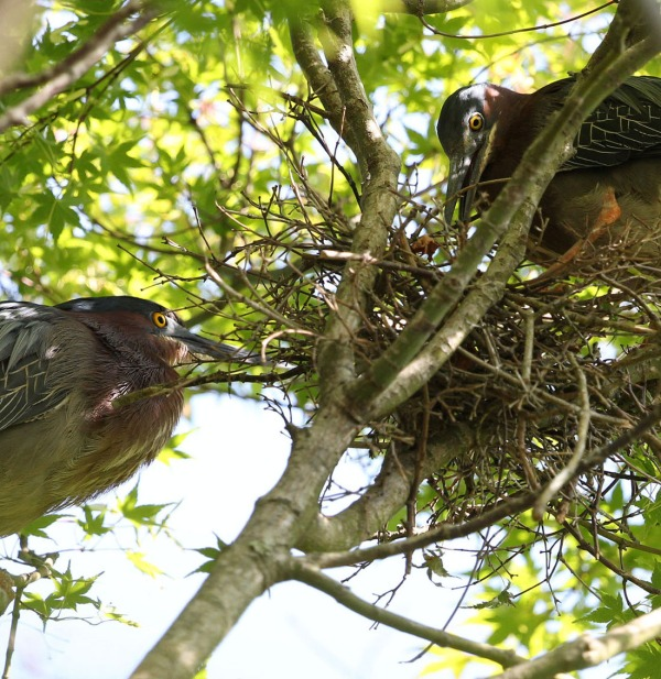 Green Heron pair nest building