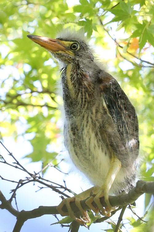 Green Heron nestling