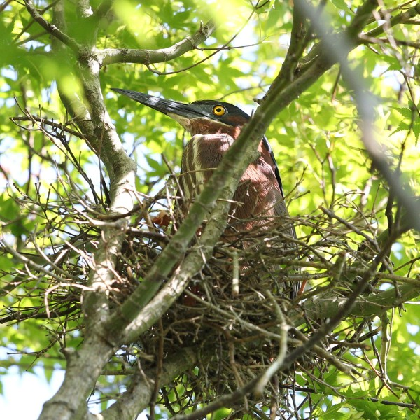 Adult Green Heron on nest