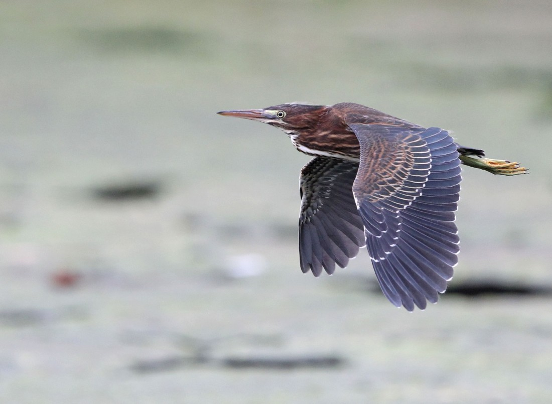 Juvenile Green Heron in flight