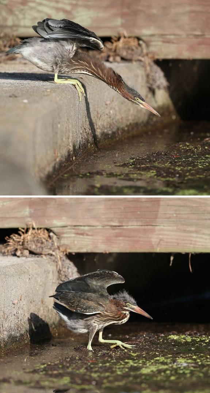 Juvenile Green Heron losing balance