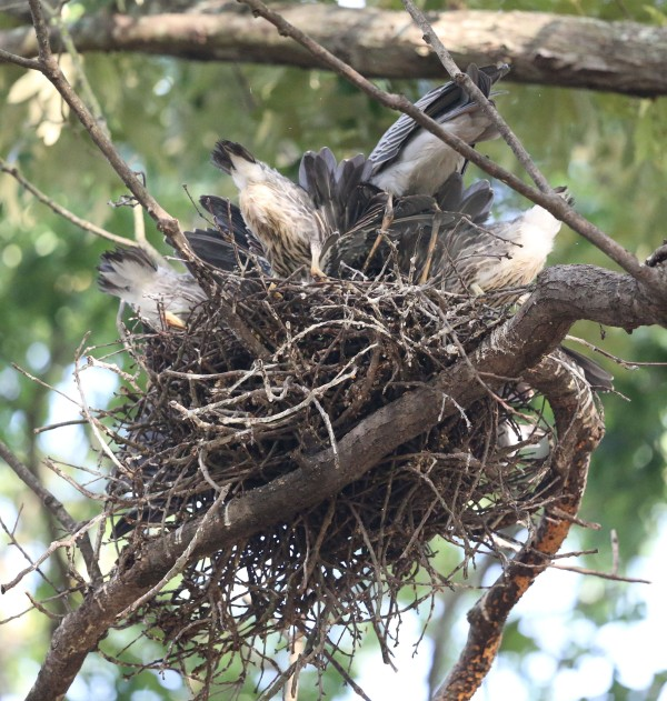 Yellow-crowned Night Heron nest