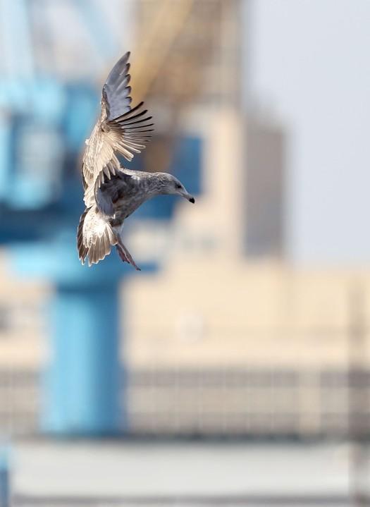 Young gull landing