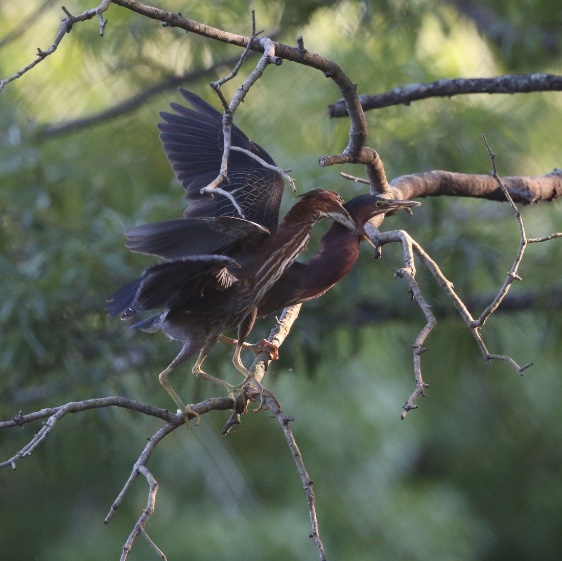 Juvenile and adult Green Heron on a branch