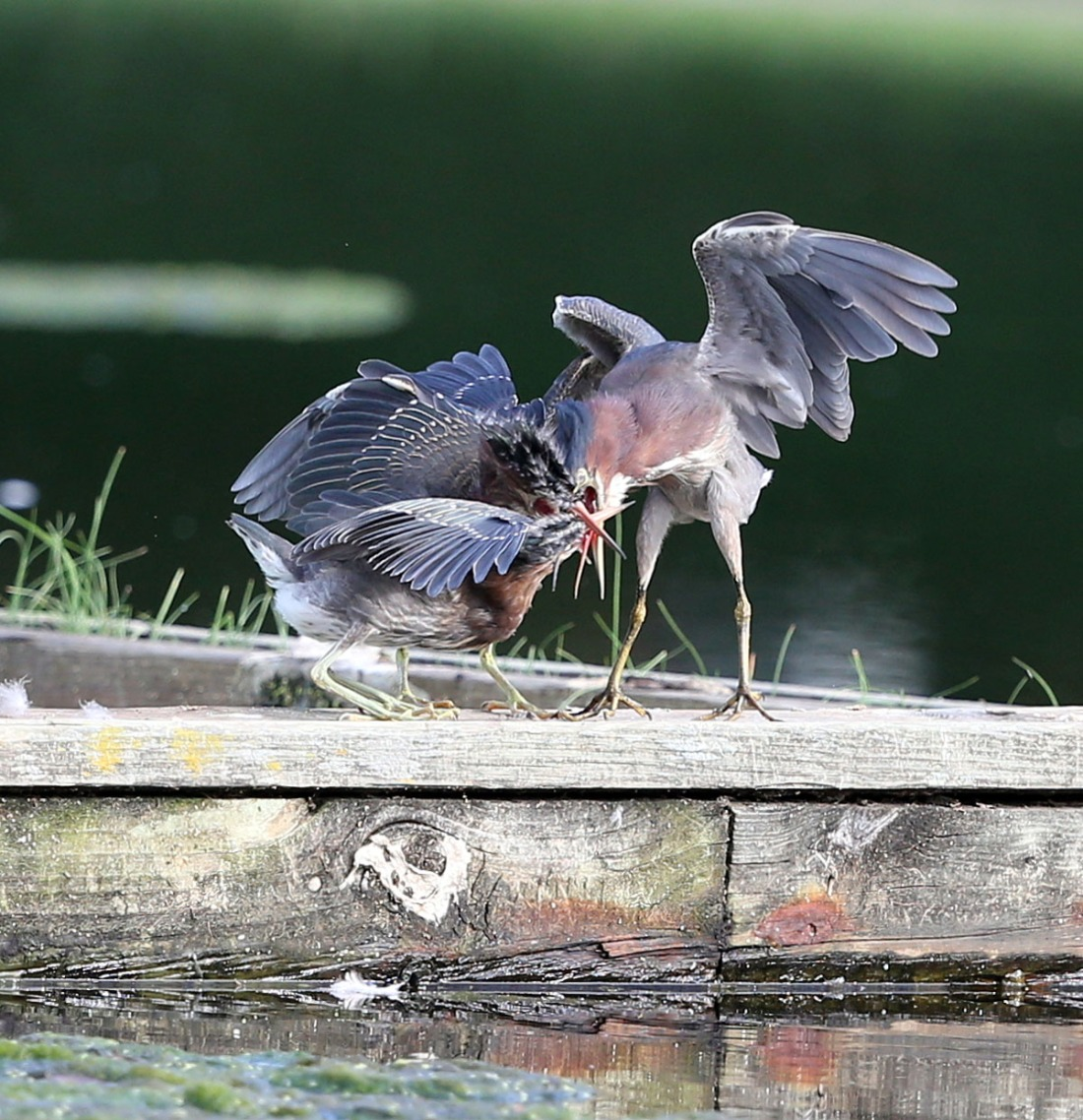 An adult Green Heron with two juveniles