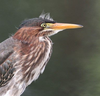 Juvenile Green Heron profile