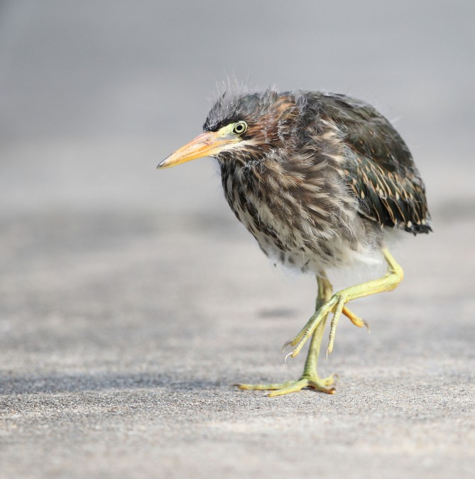 Green Heron fledgling taking a stroll